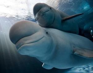 Favorite Images of Beluga Whales