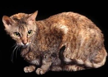 Cat Breeds Part I List